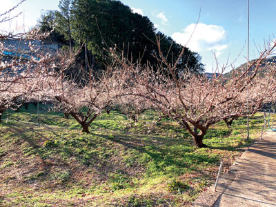 毎年2月に満開になる梅の花